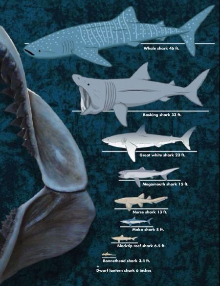 average shark sizes whale shark basking shark great white shark