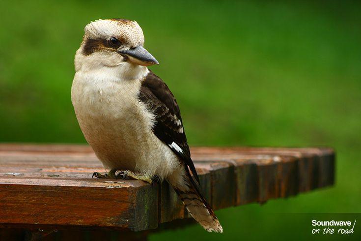 Kookaburra, Australia http://soundwaveontheroad.com/les-oiseaux-du-dandenong-ranges-national-park/