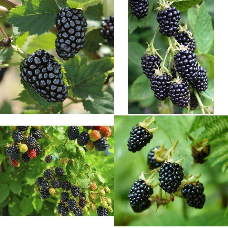 Blackberry Plants Sweetie-Pie Four Plant (4) Garden Outdoor Yard Fruit Tree NEW #BlackberryPlants4 #Custom