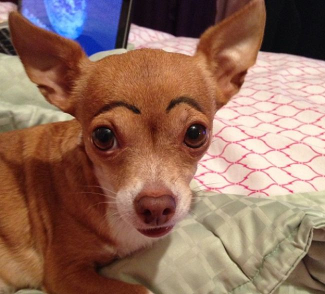 Dogs with human eyebrows (2)