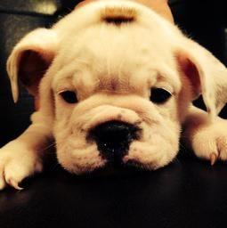 Opie ❤ English Bulldog puppy