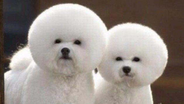 Komik şekilde tıraş edilmiş 14 sevimli hayvan Kediler, köpekler hatta alpakalar... Hepsinin ortak noktası tıraş edilme şekilleri. ♥♥♥ Kaynak / http://www.neotempo.com/yasam/komik-sekilde-tiras-edilmis-14-sevimli-hayvan