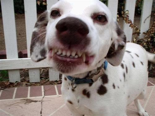 Smiling Dalmatian
