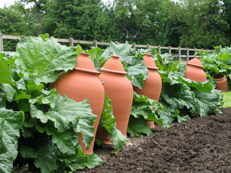 A row of rhubarb and rhubarb forcing jars, used in early spring to tease an earlier harvest from the plants. Barnsley House.