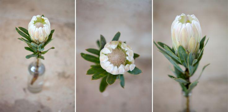 White Protea   Protea Farm Wedding Venue Gauteng