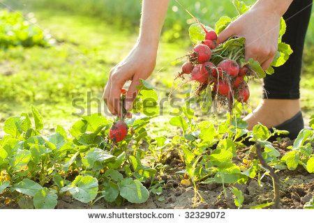 woman gardening; picking radishes