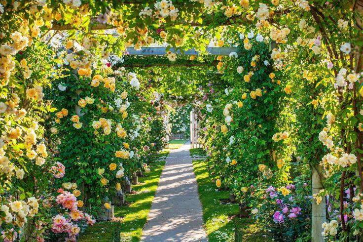 Der Sonne entgegen: ein wunderschöner Rosen-Laubengang! Foto: Clive Nichols Garden Photography