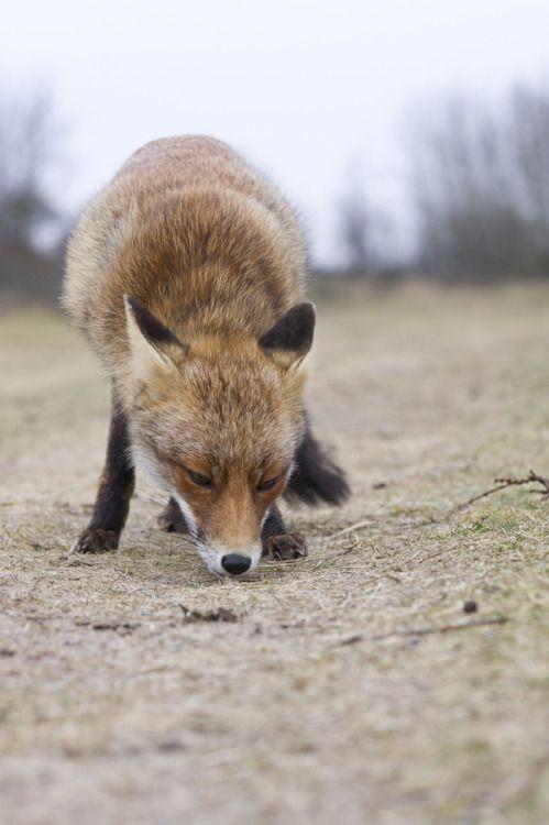 Fox Eating Peanuts