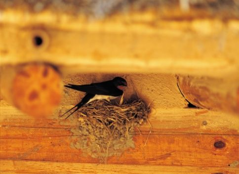 The martin is a type of swallow known for graceful flight patterns and aerial acrobatics. Each spring, martins migrate north in search of nesting sites. While many find suitable...