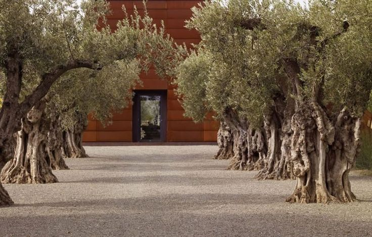 Olive Trees, Mediterranean Landscaping Garden Design Andrea Cochran Landscape Architecture San Francisco, CA