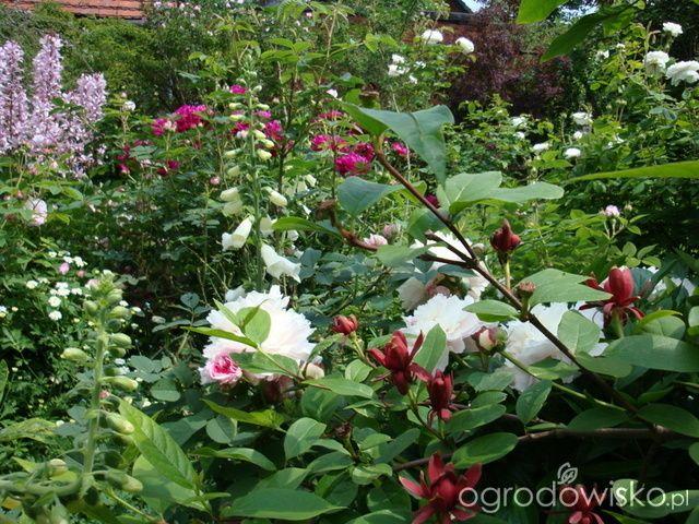 Ogród zapachów u Jasi - strona 177 - Forum ogrodnicze - Ogrodowisko