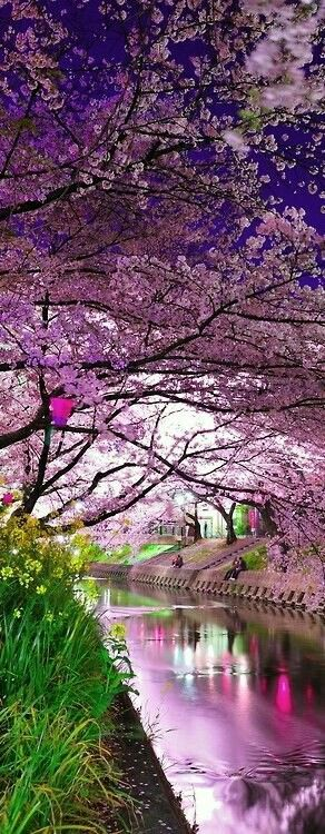 Cherry Blossoms in Spring at Japan