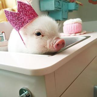 La próxima vez que vayas a pedir esa hamburguesa, acuérdate de esta princesa. | 19 Mini pigs que no quieren que vuelvas a comer tocino