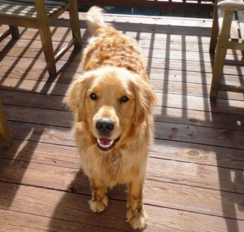 Aspen the GoldenFurries, Friends, Animals Dogs, Animals Oh, Favorite Image, Animals 3, Dogs Treats, Beautiful Life, Beautiful Creatures