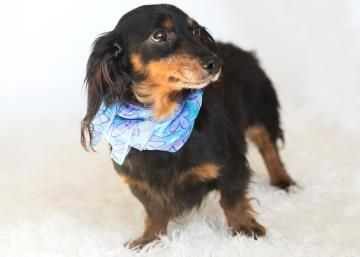 Meet Miss Sadie, a 7 years 1 month Dachshund, Miniature Long Haired available for adoption in COLORADO SPRINGS, CO
