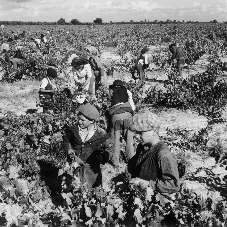 Grape harvest - Not sure if it was in Colares (Sintra - near Lisbon) - Portugal - photo by Artur Pastor