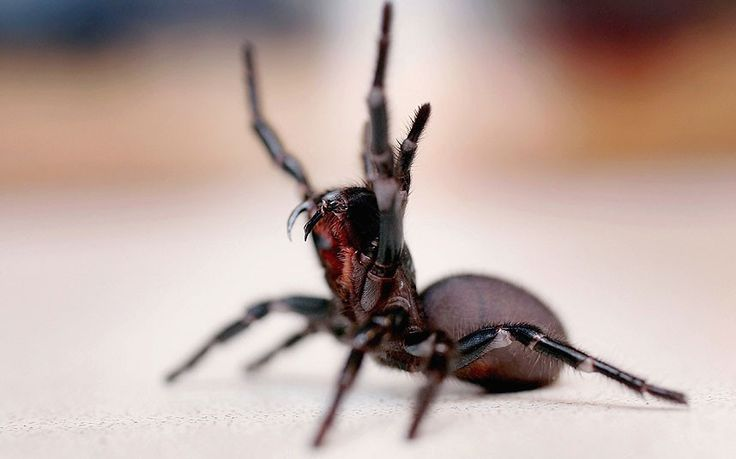 Sydney funnel web spider  You wouldn't want to meet the Sydney funnel web spider on a dark night – or at any time of day, in fact. It might be minuscule, at just 1.5-3.5 cm long, but it has fangs longer than a brown snake's, and so powerful they can pierce toenails.