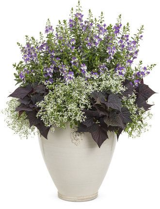 New for 2014 Angelface® Wedgwood Angelonia hybrid introduced by #ProvenWinners will make your 'Dreams come true' in this container combination. Add Diamond Frost and Sweet Caroline Bewitched to a container- will do best in full sun. http://emfl.us/AmGd Containers board