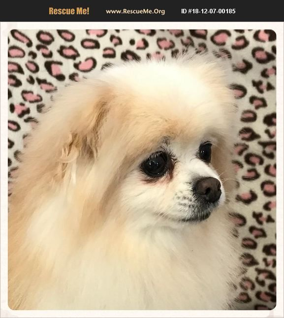 Adopt 18120700185 Pomeranian Rescue Kansas City Mo