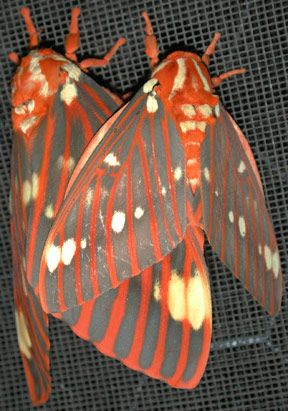 :: Hickory Horned Devil Caterpillar - Larva of Giant Silkmoth - Royal Walnut or Regal Moth ::