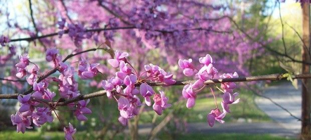 Forcing spring branches