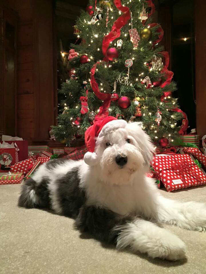 English sheepdog