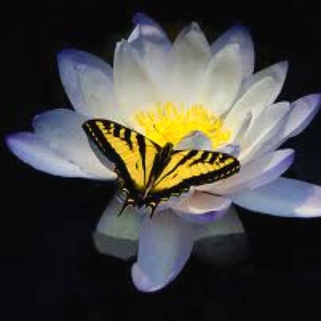 Tattoo idea in memory of my cousin Mariah. Yellow butterfly on a water lily