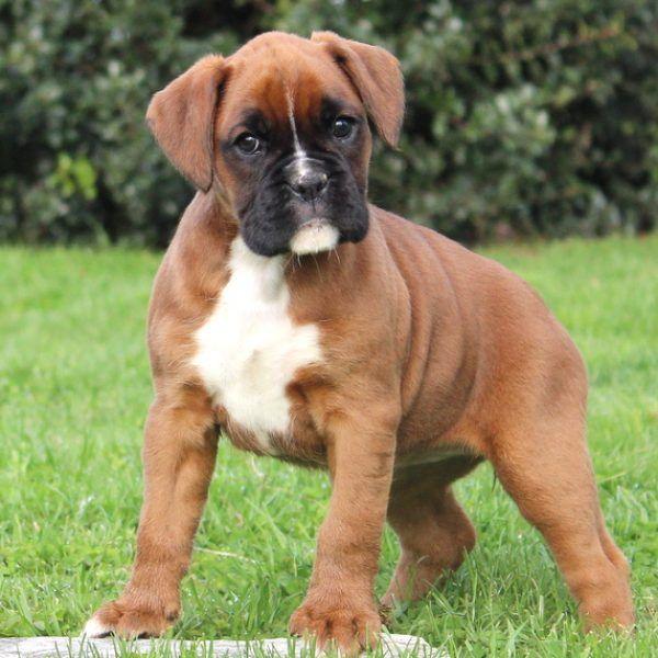 Boxer Dog For Sale Albuquerque