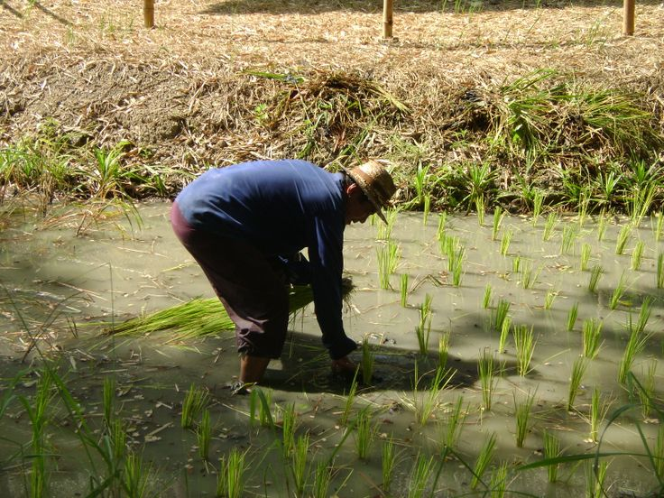 Rice planting in Thailand