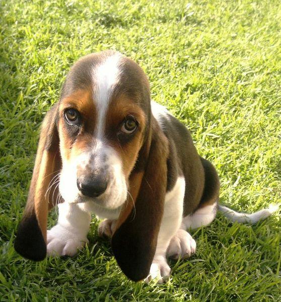 Gumtree: Basset Hound Puppies