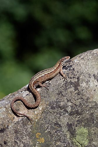 Common Lizard, Lacerta vivipara, Dorset