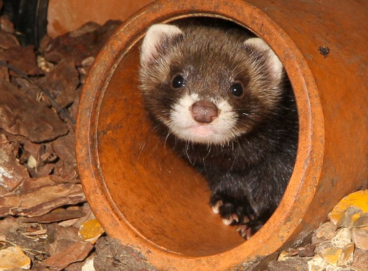 Love this little Polecat pup! The European polecat is the ancestor of the domesticated ferret.