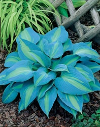 Hosta - Touch of Class  Mature Height  	24 inches  Mature Spread  	20 inches  Soil Type  	Widely Adaptable  Moisture  	Moist  Mature Form  	Mounding  Growth Rate  	Slow  Sun Exposure  	Full Shade - Partial Sun  Flower Color  	Lavender  Fall Color  	Blue, Yellow  Foliage Color  	Blue, Yellow  Zones  	3-9  From Nature Hills Nursery