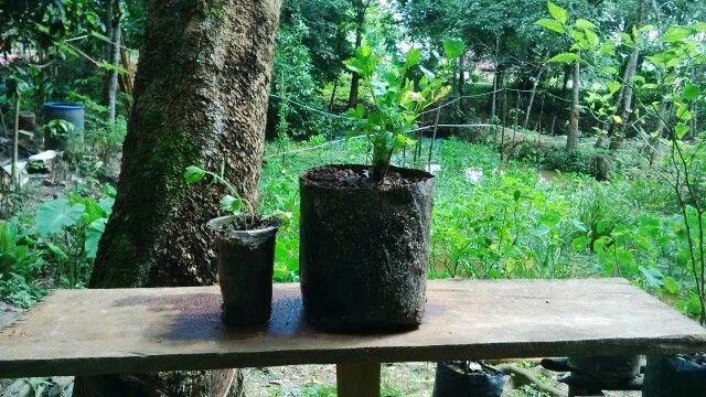 Seledri / daun sop