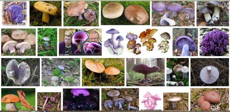 Милонов и Мизулина м фиолетовые грибы среди фиолетовых грибов в поисковой выдаче Google
