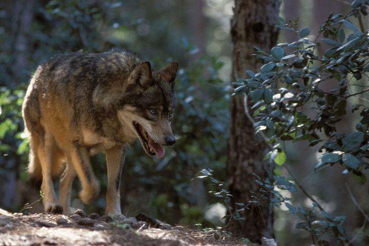 Il Lupo (Cane Lupis) nel Parco Nazionale della Sila - Ph G. Marcoaldi