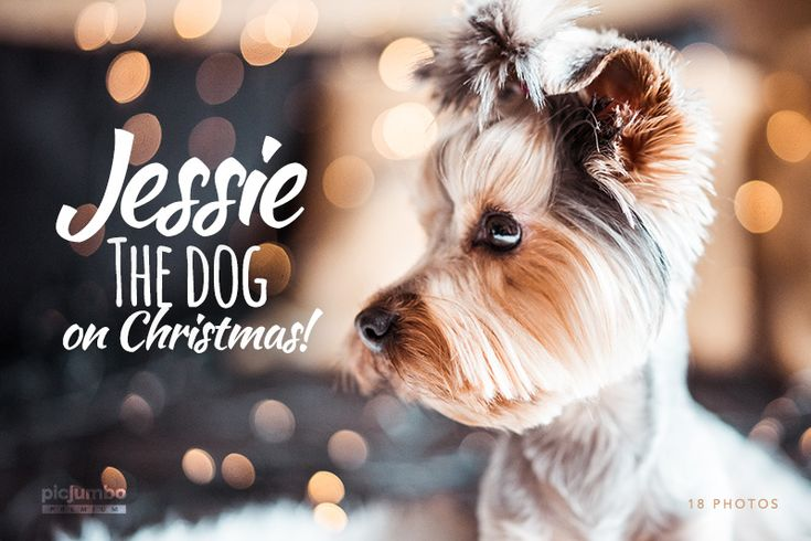 New #picjumbo PREMIUM Collection! Jessie The Dog on Christmas — do you like it? Grab it here: https://picjumbo.com/premium/jessie-the-dog-on-christmas/