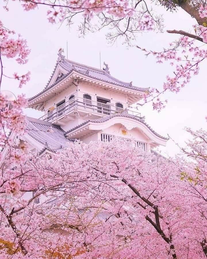Pink Japan Japanese Castle Sakura Tree Scenery