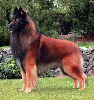 Belgian Tervuren, what a beautiful coat!