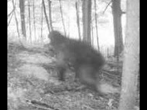 Most Terrifying Bigfoot Sounds Caught On Tape  that is cool I don't think it is fake