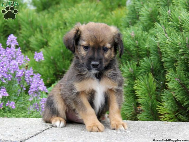 Miniature Australian Shepherd Puppies For Sale In PA