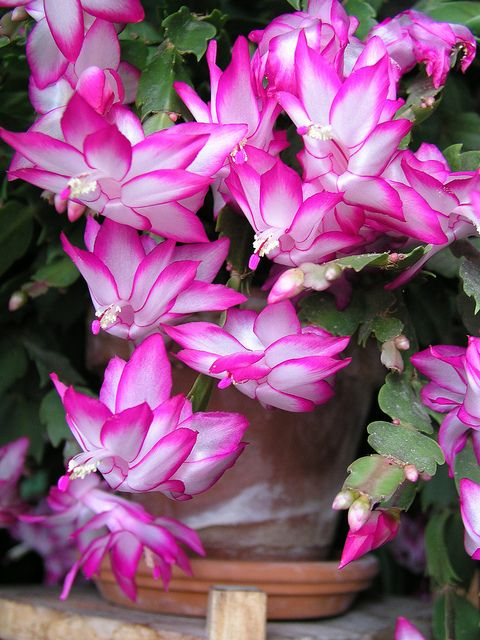 pink cactus in bloom. CACTUS DE NAVIDAD