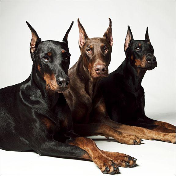 Three #Dobs