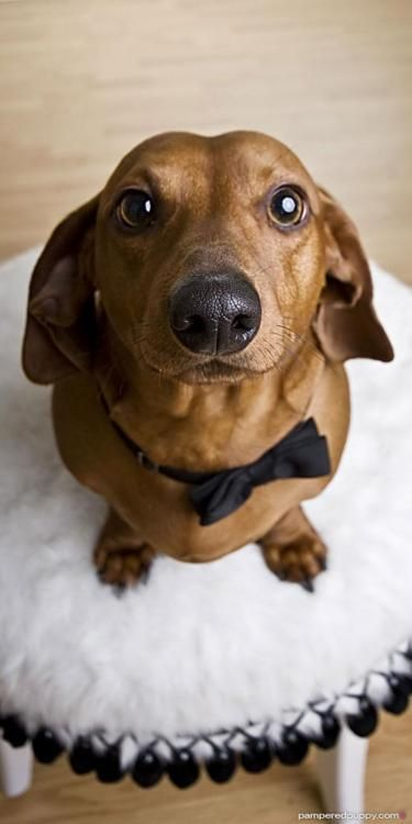 YOU are a handsome boy, for sure!: Black Ties, Weenie Dogs, Bows Ties, Puppys, Handsome Boys, Bowties, Weiner Dogs, Wiener Dogs, Animal