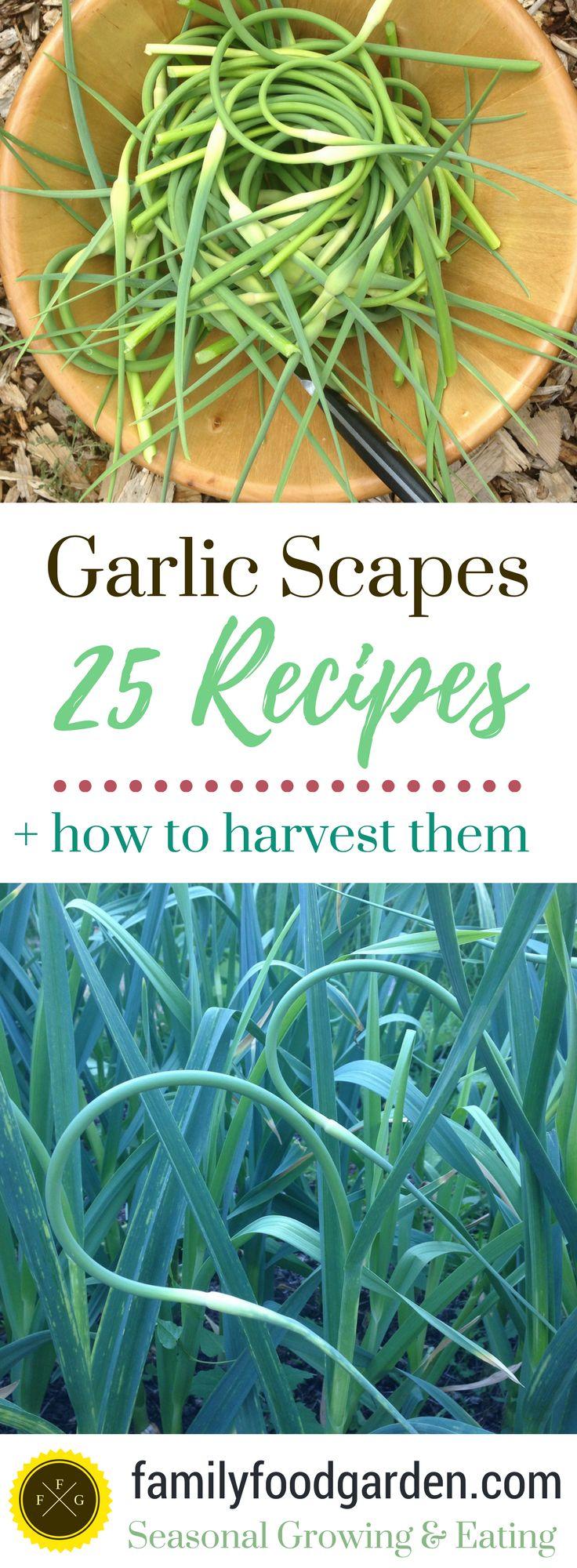 I love garlic scape season! Garlic scapes are the unopened flowers of hardneck garlic varieties and you definitely want to harvest them because they are both delicious and it allows the garlic to focus its growth on the bulb instead of going to seed (this will make for larger bulbs!). Here's a rec