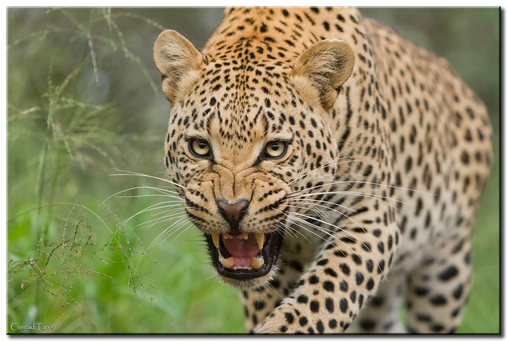 #AnimalFact Leopards can hear 5x more sounds than humans, even the ultrasonic squeaks made by mice.: Beautiful Symmetry, Wild Animal, Big Cat, Beautiful Animal, Outstanding Wildlife, Conrad Tans, Amazing Creatures, Eye Of The Cat, Big Kitty