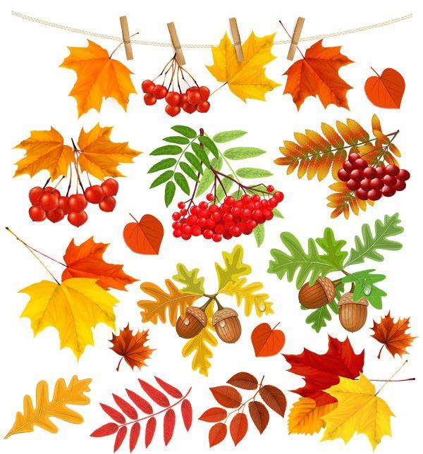 Клипарт на прозрачном фоне - Осенние листья, рябина, желуди