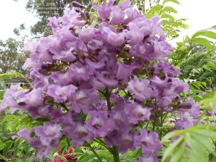 Jacaranda semiserrata