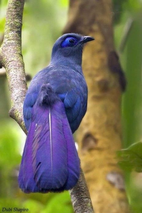The Blue Coua (Coua caerulea) is a species of bird in the cuckoofamily. It is endemic to Madagascar.