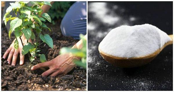 Obyčejná soda může být na vaší zahradě hotovým zázrakem! Co vše dokáže?